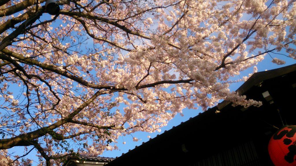 ワイルドフラワーエッセンス  今月の花'17年4月【ゴールデン・ウェイツィア】