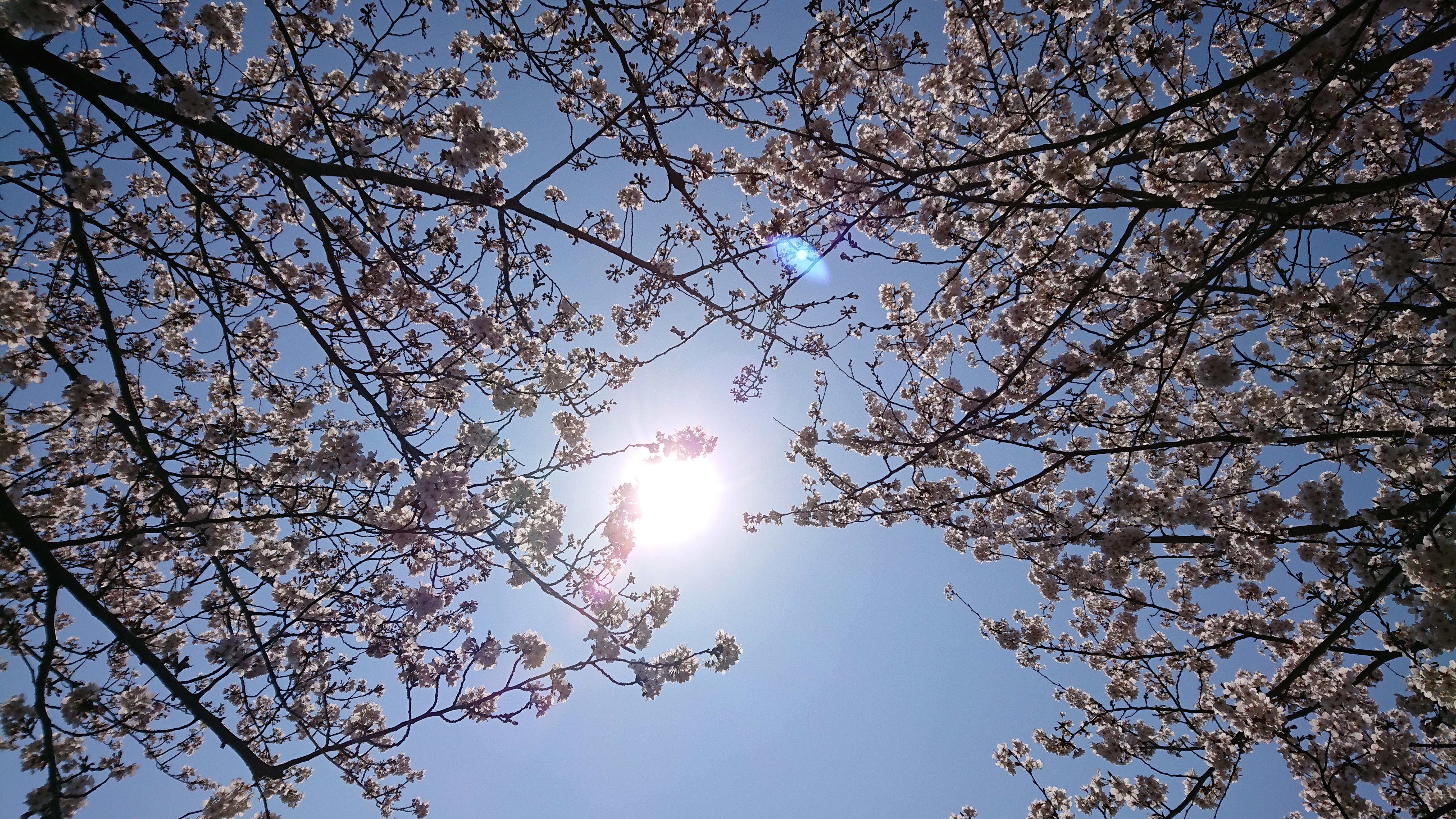 桜の木と共にグラウンディングする