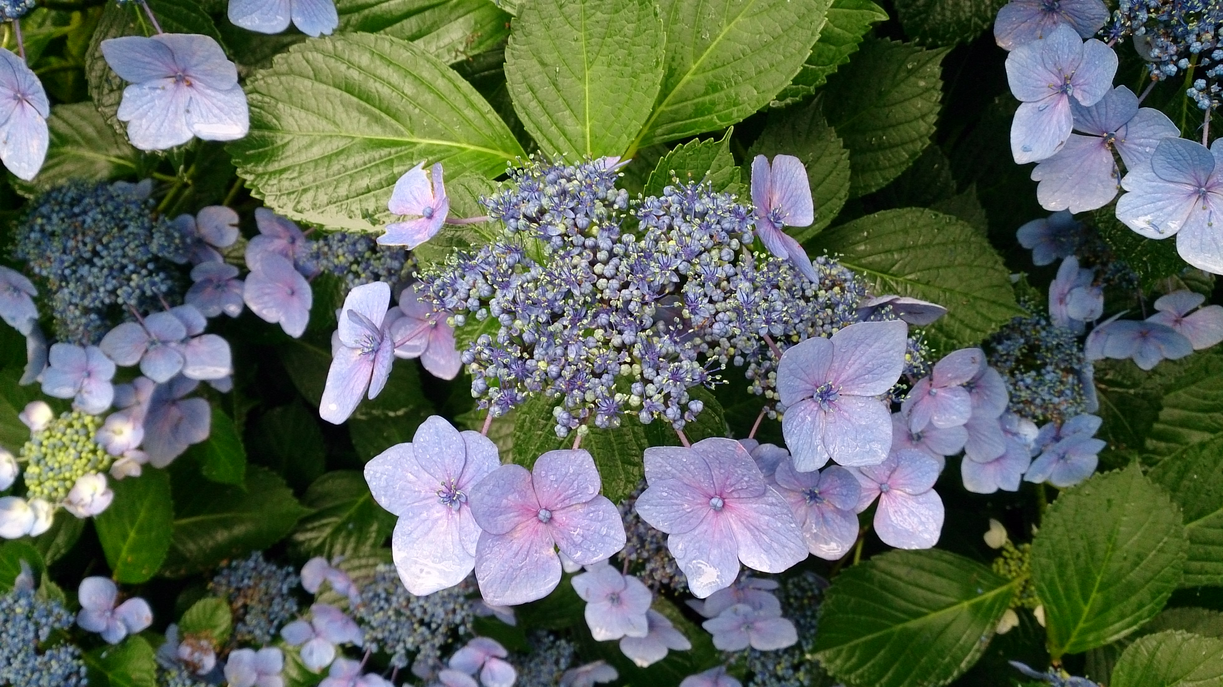 ワイルドフラワー 浄化の花 アンティセプティック・ブッシュ